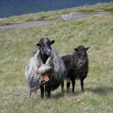 Die Schafe rufen uns